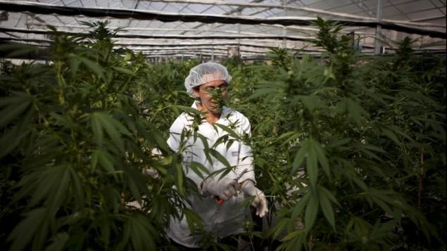 El cannabis podría utilizarse para tratar lesiones cerebrales traumáticas, dicen investigadores israelíes